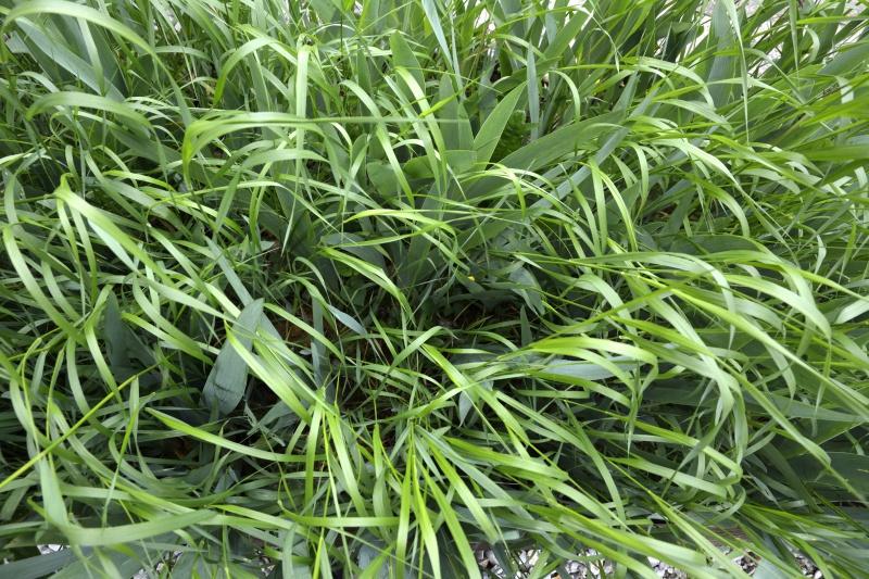Floraisons 2016 de nos grands iris barbus et Bilan - Page 4 149480DSC2368