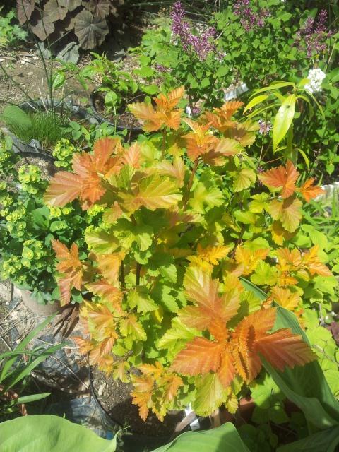 physocarpus amber jubilee 15258920150430114654