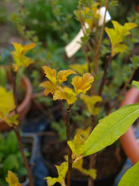 physocarpus amber jubilee 155743P4085811
