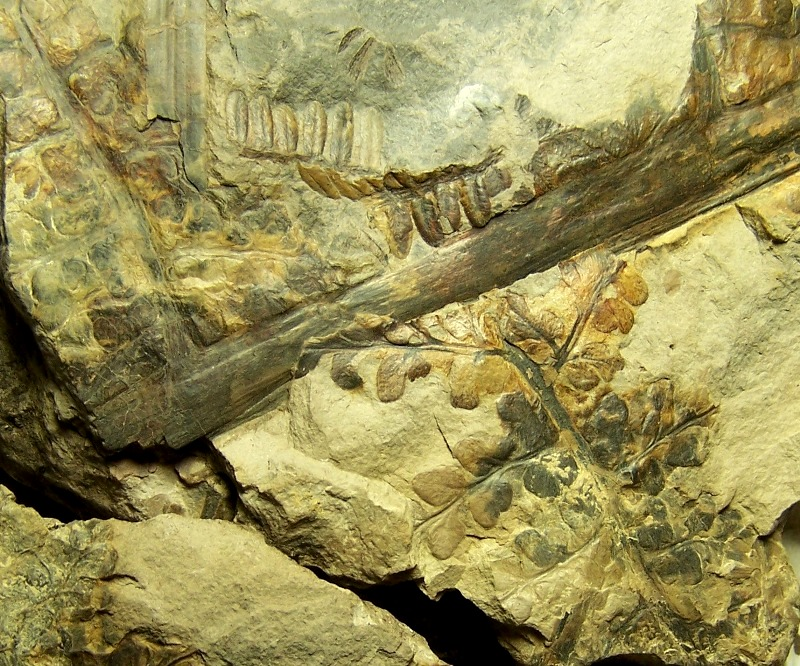 Eusphenopteris rotundiloba, Eusphenopteris talensii 155950Copia2de1002832