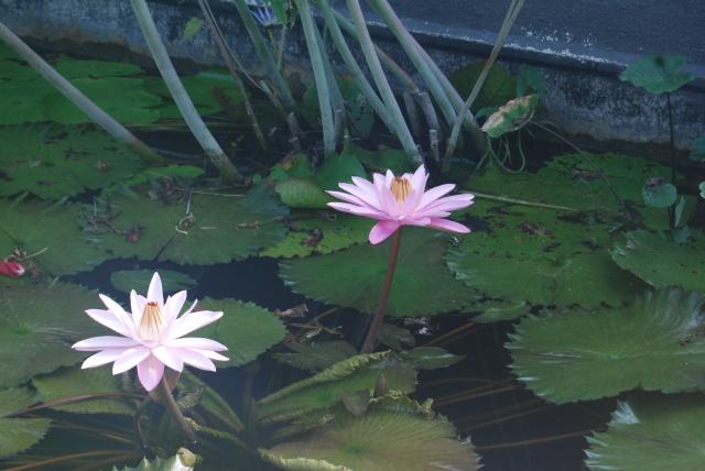 (47) Latour-Marliac, jardin de nénuphars - Le Temple-sur-Lot 157534DSC4927