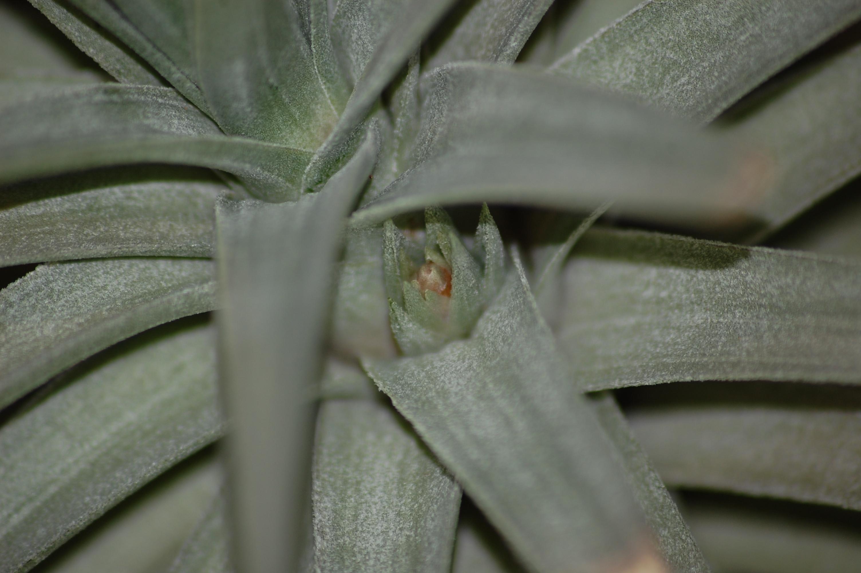 Tillandsia purpurea 159905DSC2593
