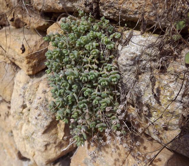flore des vieux murs, rochers  et rocailles naturelles - Page 2 161587DSCF2988