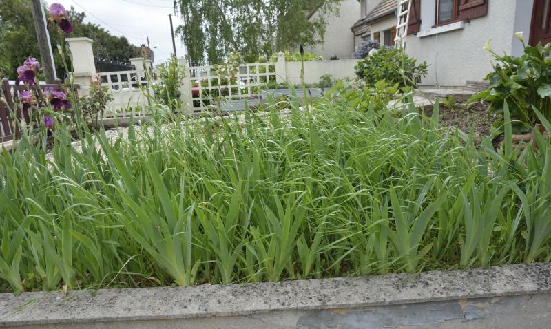 Floraisons 2016 de nos grands iris barbus et Bilan - Page 4 161687DSC2208