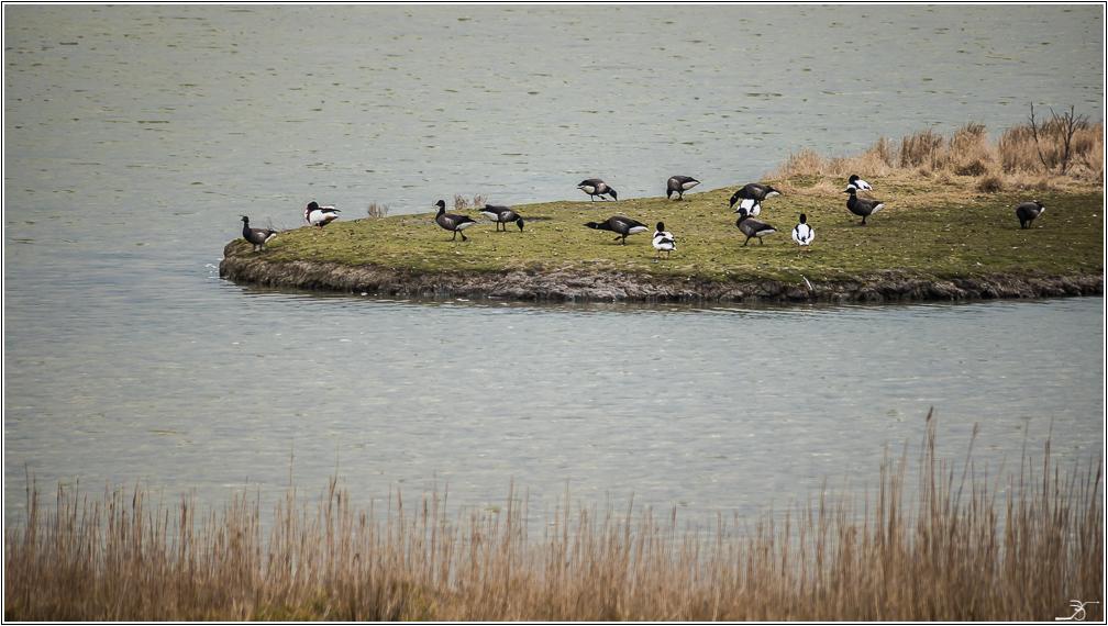 Morbihan, Le Duer, Aigrettes, Cygnes 162501LR6P1440572