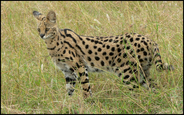 Fiches Animaux 162733SERVAL
