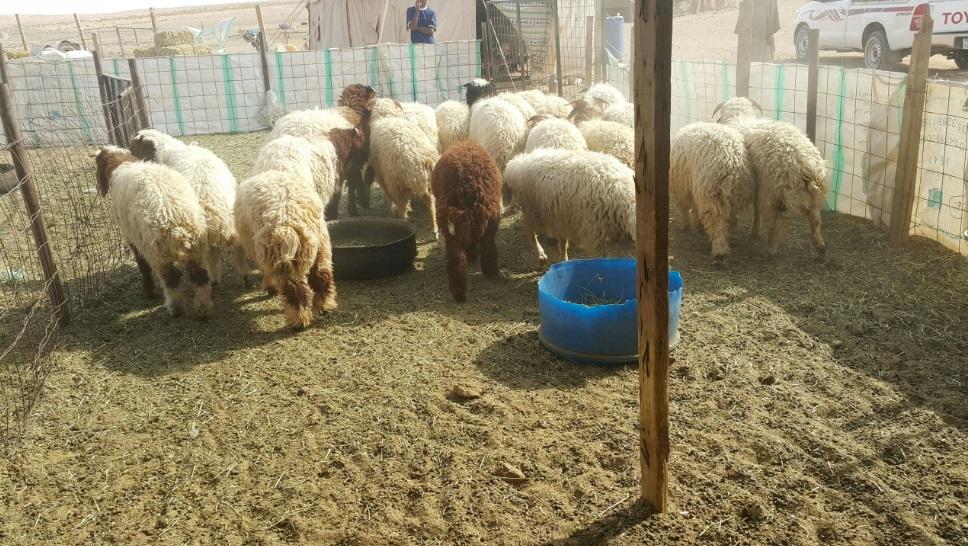 25 خروف نعيم للبيع  167989911