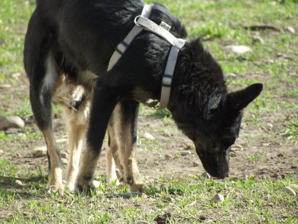 > Mika, un amour de petite chienne, née en mai 2011 - Adoptée 1686373056113418902146848641057491n