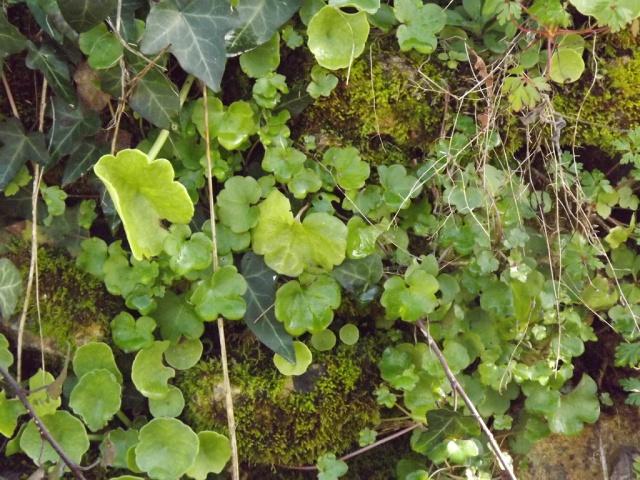 flore des vieux murs, rochers  et rocailles naturelles - Page 4 170068DSCF4917