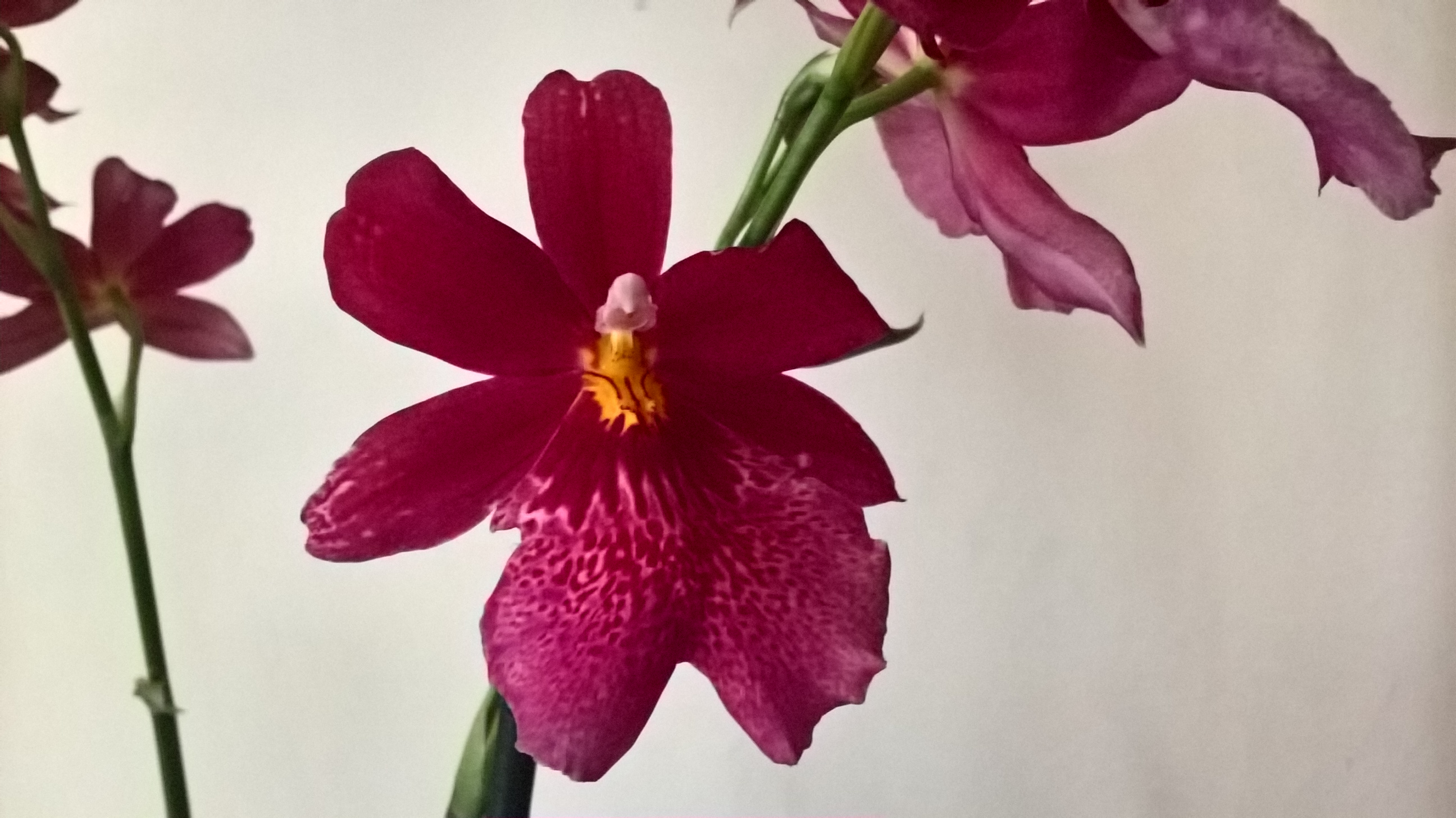 VOTES : La fleur du mois (catégorie achetée avec hampe, boutons ou fleurs) - JUIN 2016 173475WP20160625111415Pro