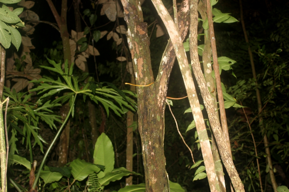 15 jours dans la jungle du Costa Rica - Page 2 173747innornatus1r