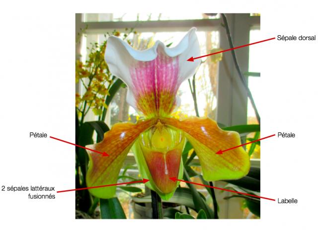 Structure d'une fleur d'orchidée 176361Capturede769cran20160319a768110617