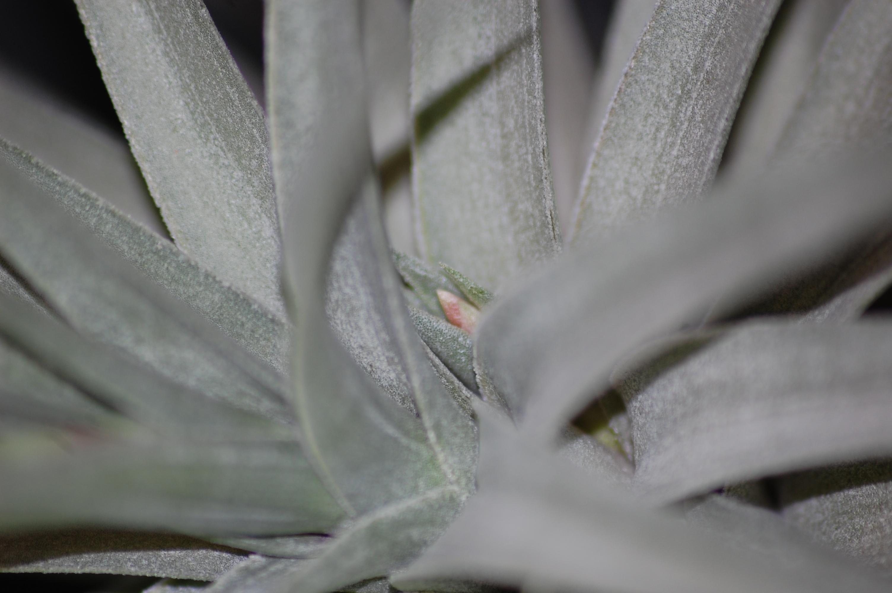 Tillandsia purpurea 178491DSC2591