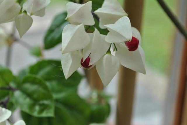 Mon clerodendrum en fleurs  - Page 2 188592DSC0710