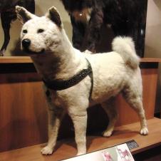 [Culture] Hachiko, chien fidèle 188951600pxHachikoStuffedspecimen