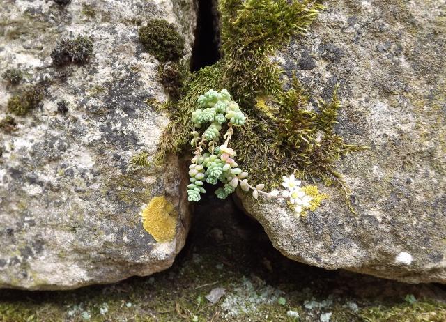 flore des vieux murs, rochers  et rocailles naturelles 189313DSCF0937