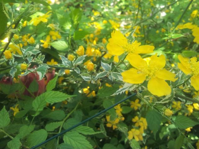 Corete a fleurs simple - Page 2 19259620150421153532