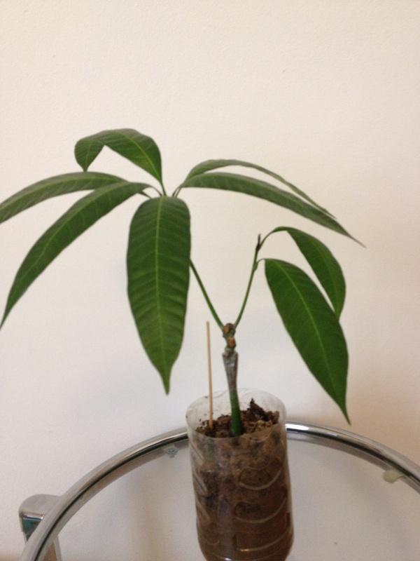 Enfin un manguier greffé! 193248IMG2651