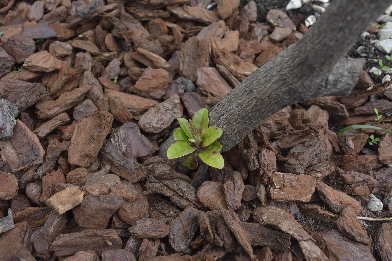 sauvetage d'un Rhododendron 194231DSC2380