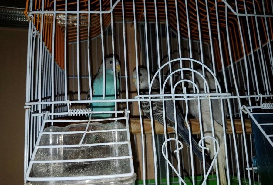ثلاثة حبات طيور الحب للبيع 195257171