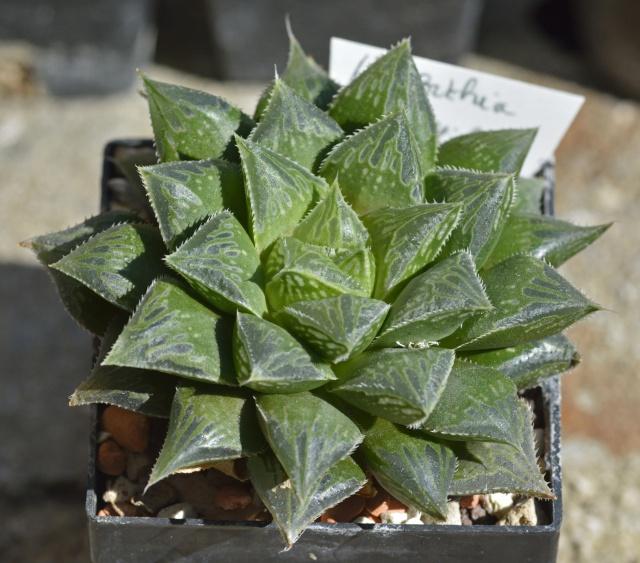 Haworthia, les belles du jour 19602320160501Haworthiahybridemultifolia