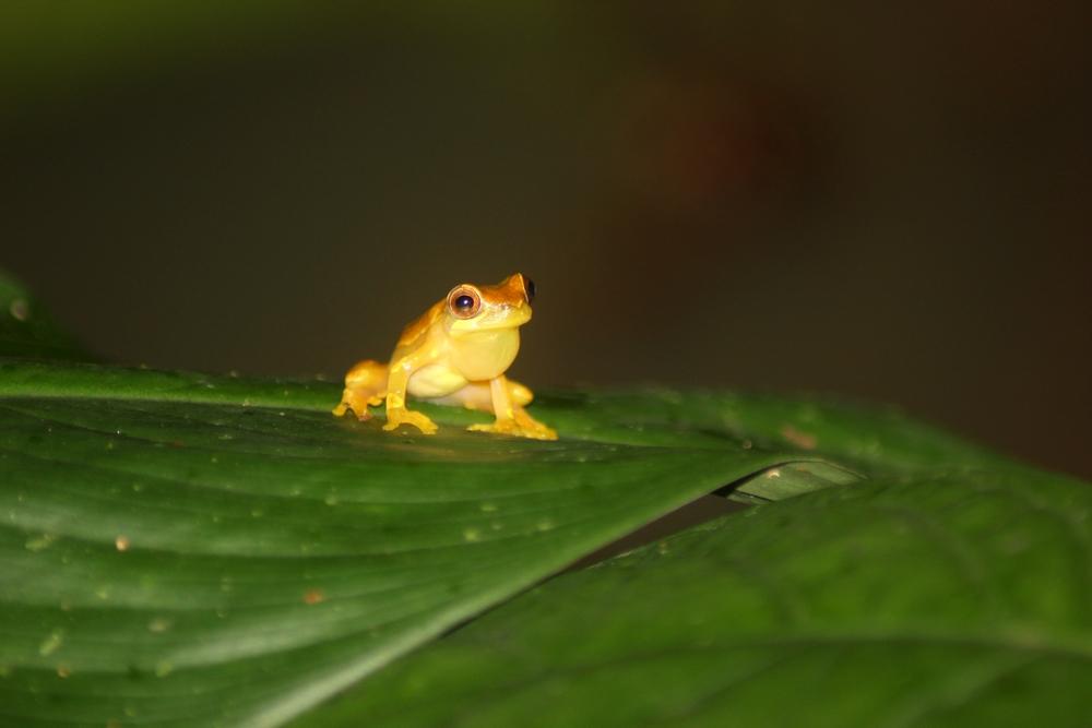 15 jours dans la jungle du Costa Rica - Page 2 197876dendropsophus1r