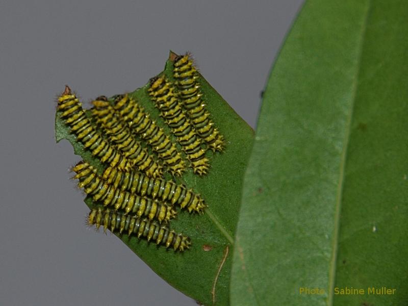 aurota - Rothschildia aurota 200611Rothschildiaaurotal1