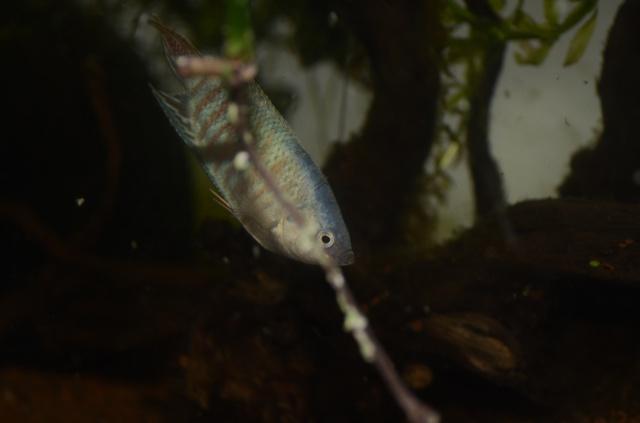 macropodes  201132DSC2012