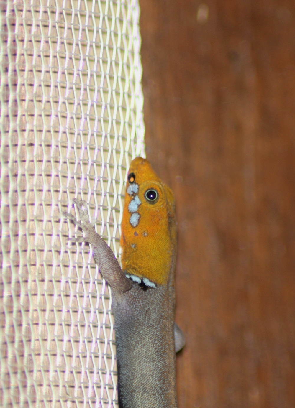 15 jours dans la jungle du Costa Rica - Page 2 202043gonotadesr