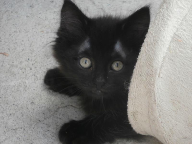 DOMINO (chaton mâle poils mi long) 202681P6294164