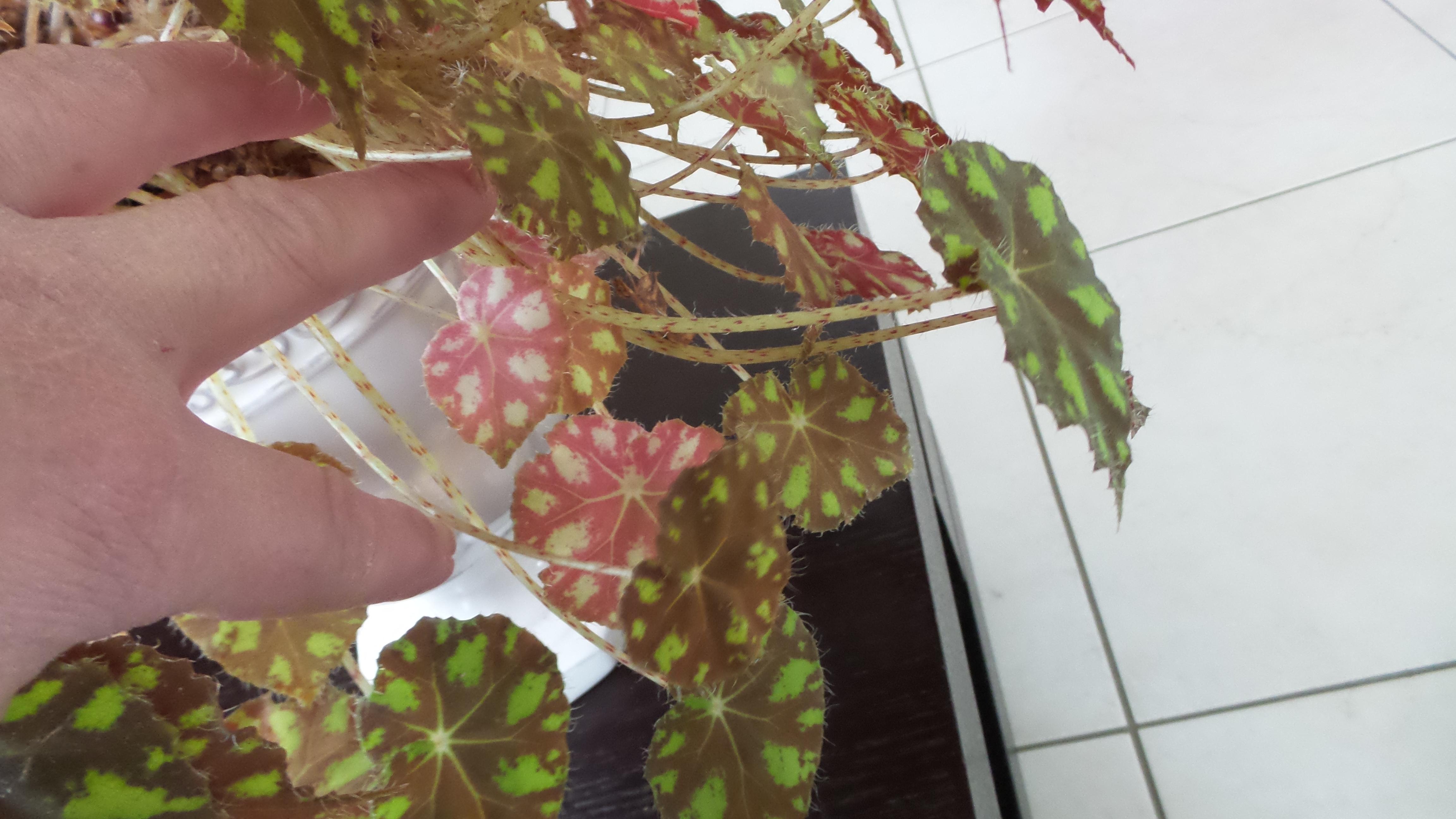 begonia bowerii tiger  - Page 3 20530820170205104534