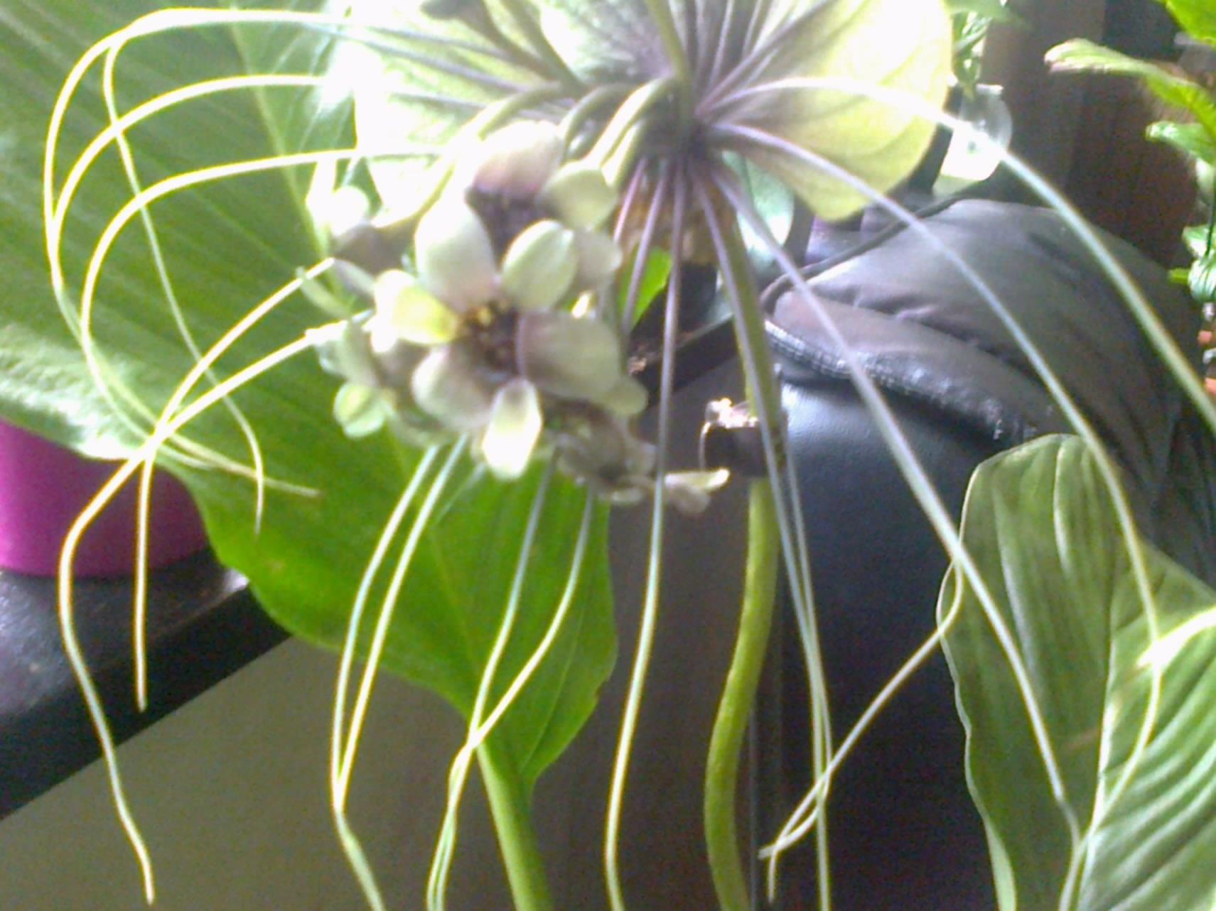 tacca green - Page 3 208461Photo0083001