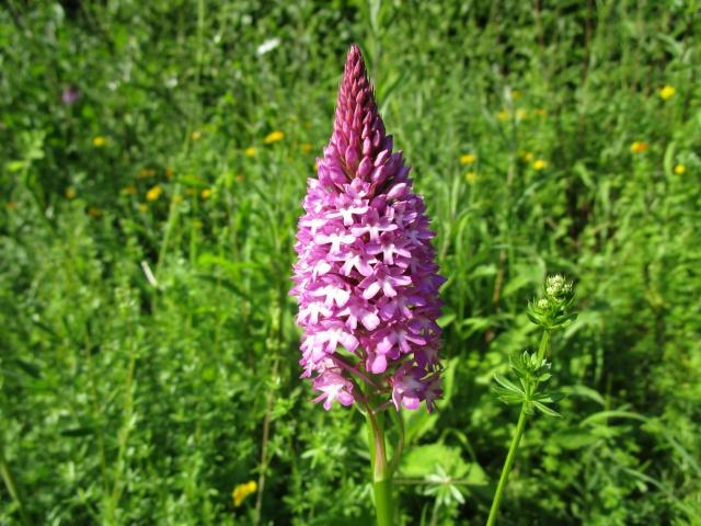 Quelques orchidées sauvages 209811IMG1771