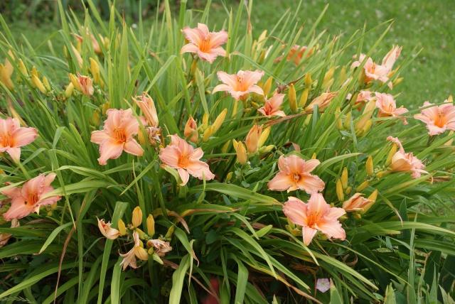 Hemerocallis - des variétés - Page 5 211043001