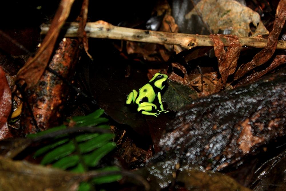 15 jours dans la jungle du Costa Rica - Page 2 211756dendro5r