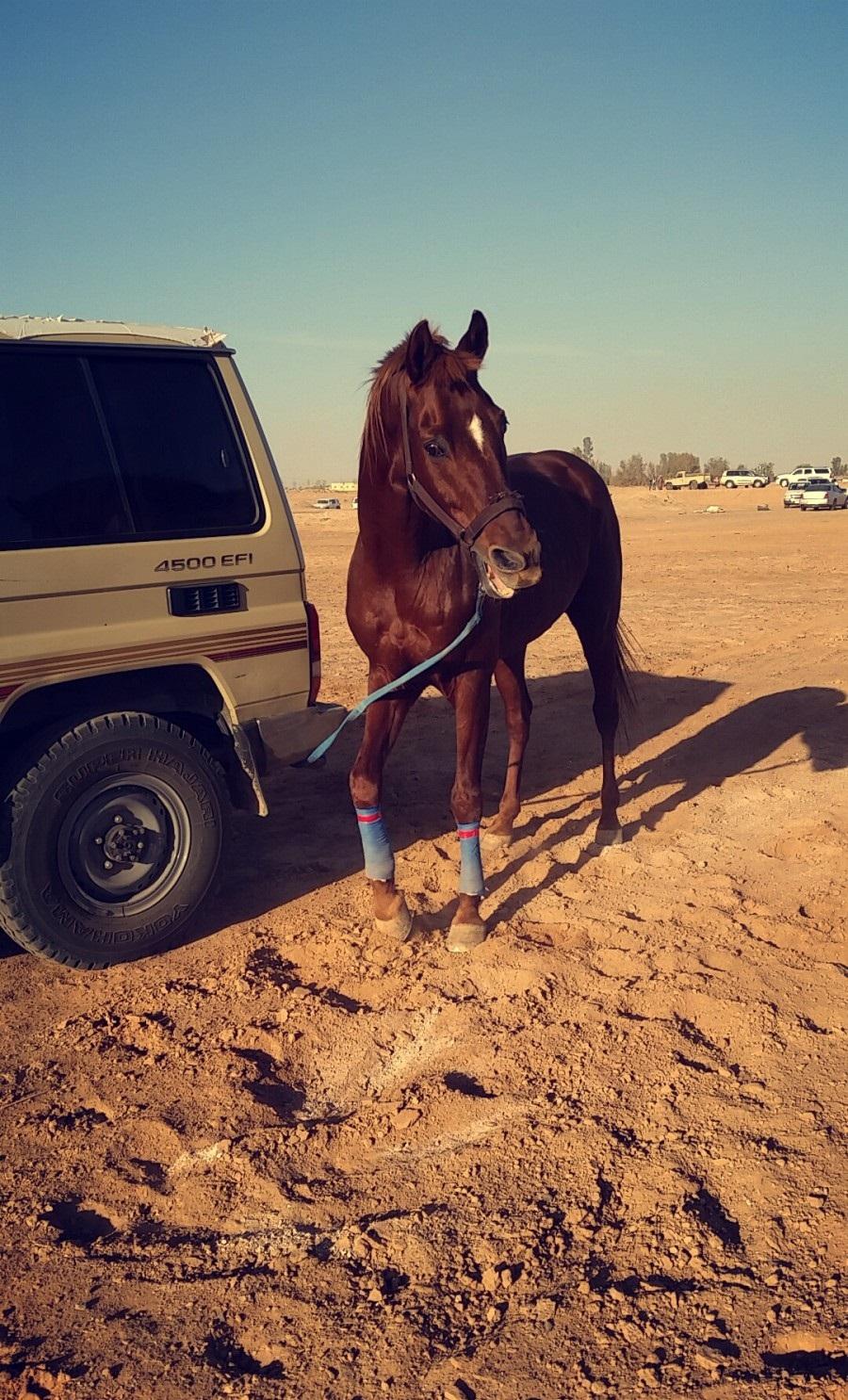 حصان عربي جميل  212429672