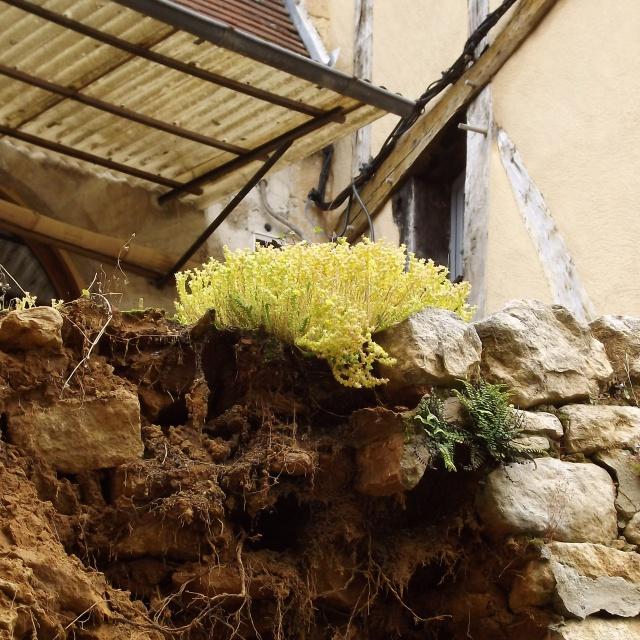 flore des vieux murs, rochers  et rocailles naturelles 214534DSCF0929