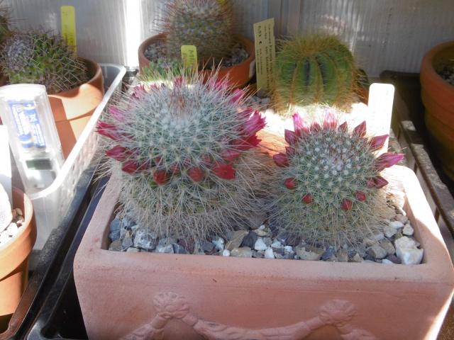sos-cactus - Portail 222641MammillariaspinosissimaUnPico