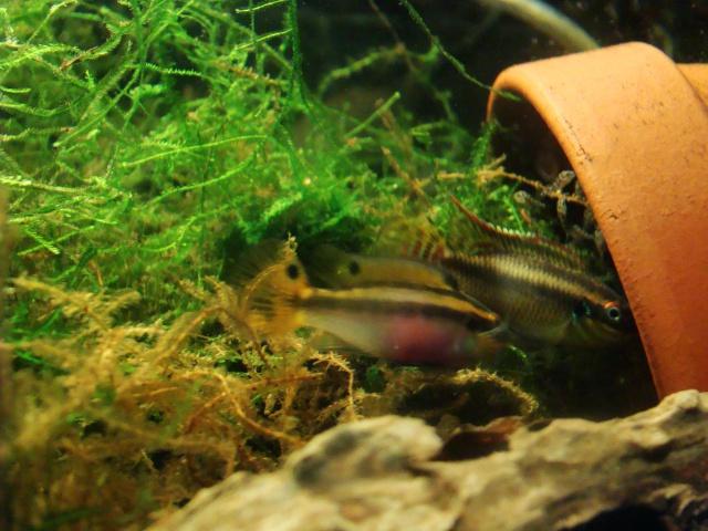 "Pelvicachromis taeniatus ""MOLIWE"" F1 ADGP 11-32 224423DSC08387"