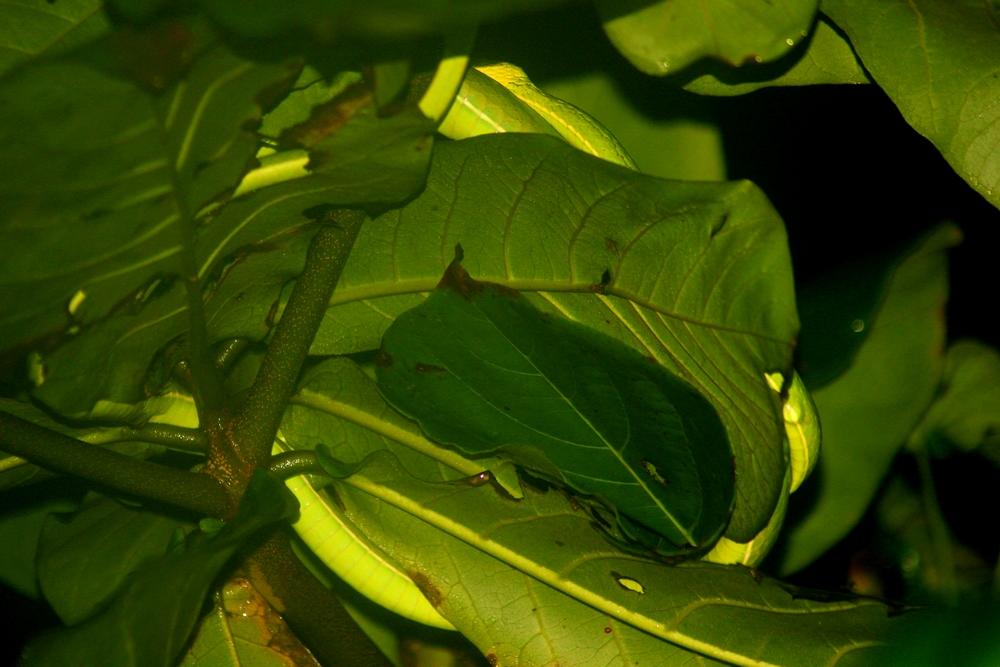 15 jours dans la jungle du Costa Rica 231197oxybelis2r