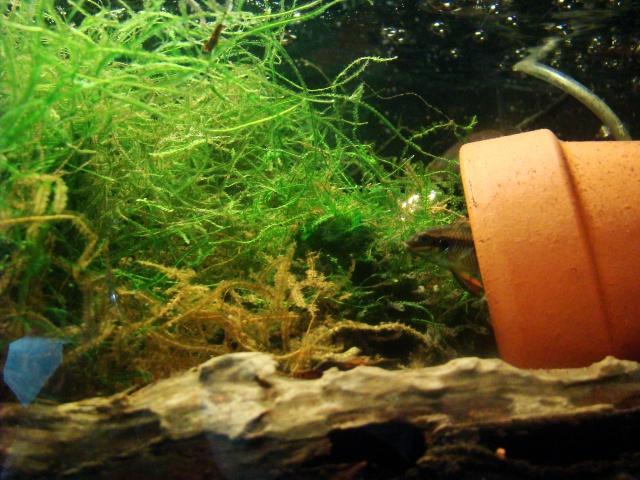 "Pelvicachromis taeniatus ""MOLIWE"" F1 ADGP 11-32 233599DSC08385"