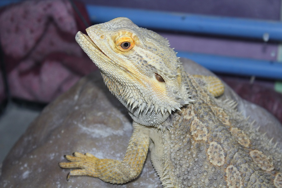 Besoin d'aide pour Bahamut (pogona) - Page 4 233867IMG4528