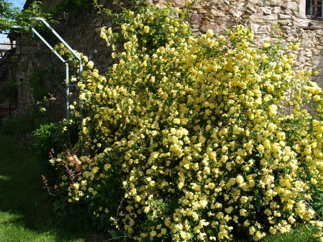 le joli mois de mai des fous jardiniers - Page 6 235513P5066275