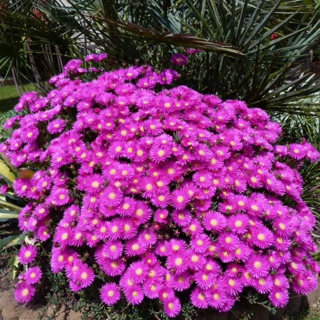 Lampranthus multiradiatus 237894P1120951