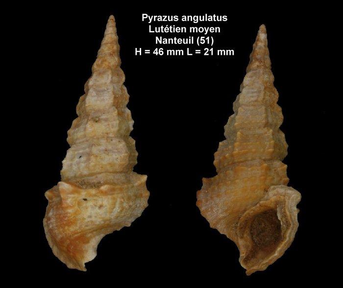 Pyrazus angulatus du lutétien moyen de la Marne 240430planchepyrazusangulatusnanteuilavril2012001