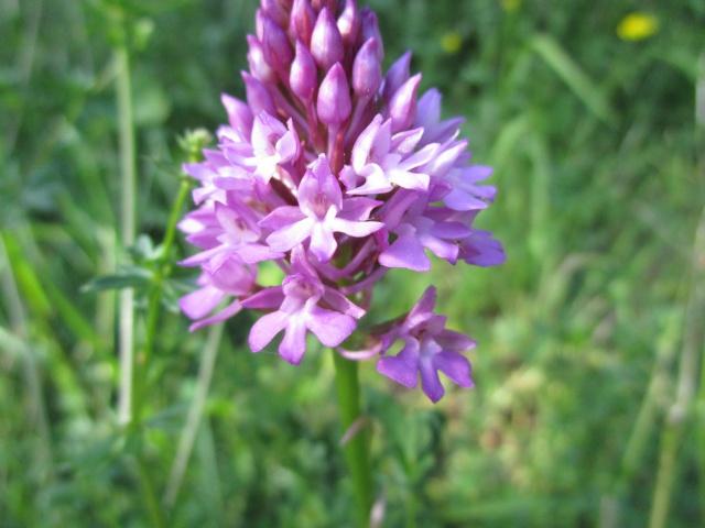 Quelques orchidées sauvages 242632IMG1774