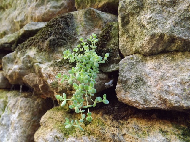 flore des vieux murs, rochers  et rocailles naturelles - Page 2 248106sedumdasy3