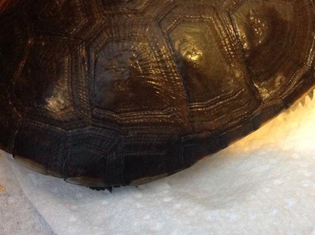 Urgent!!! Ma tortue juvénile pelomedusa subrufa commence a avoir de tâches blanche 249330image229