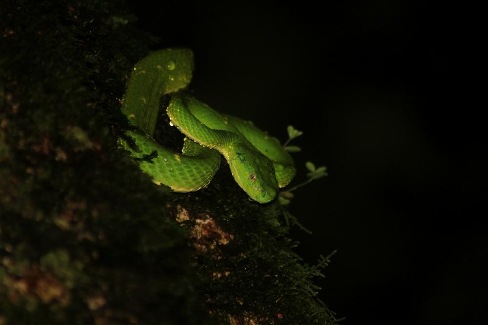 15 jours dans la jungle du Costa Rica - Page 2 253261lateralis7r