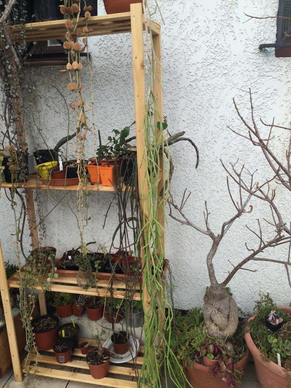 Sarcostemma, Cynanchum et autres bois vert 257492sarcostemma1